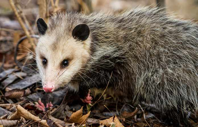 what do possums eat